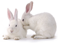 Custom Polyclonal Antibody Production Process in Rabbits